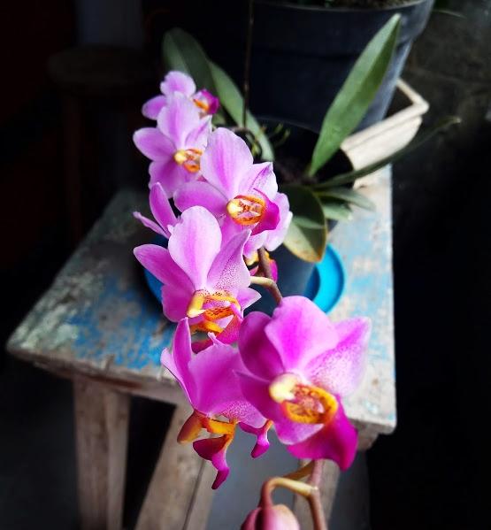 orchid bunga anggrek