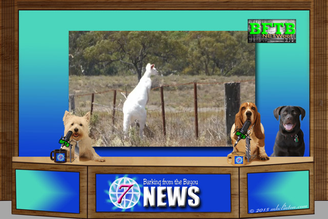 BFTB NETWoof Dog News anchor desk with top story of albino kangaroos