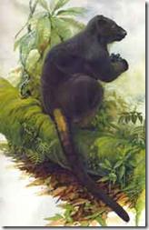 tenkile Dendrolagus scottae