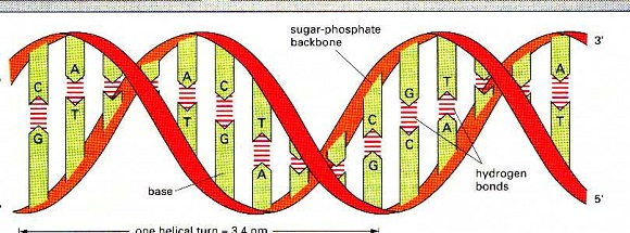 DNA double stance structure