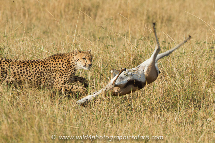 gazelle running from lion - photo #17