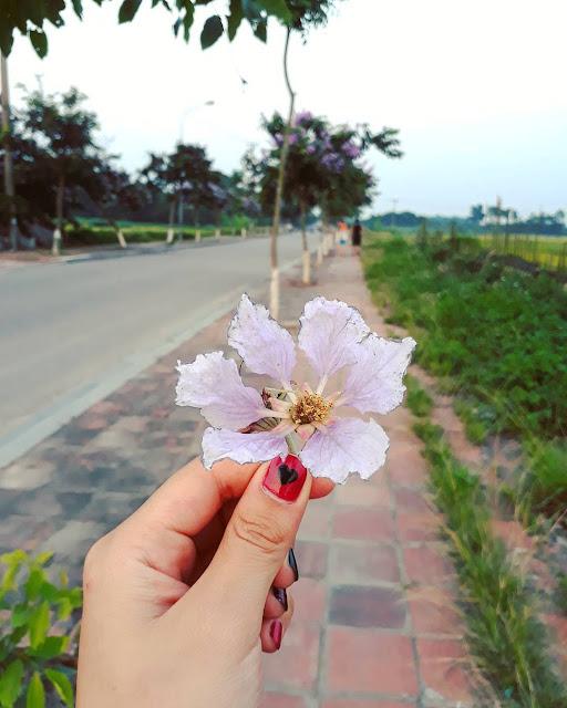 Hình ảnh hoa bằng lăng tím đẹp thủy chung mê mẫn lòng người