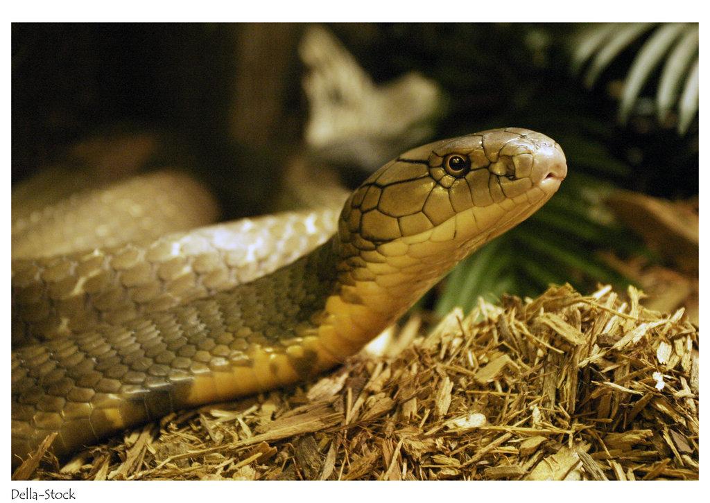 King Cobra Snake Photos: 521 Entertainment World