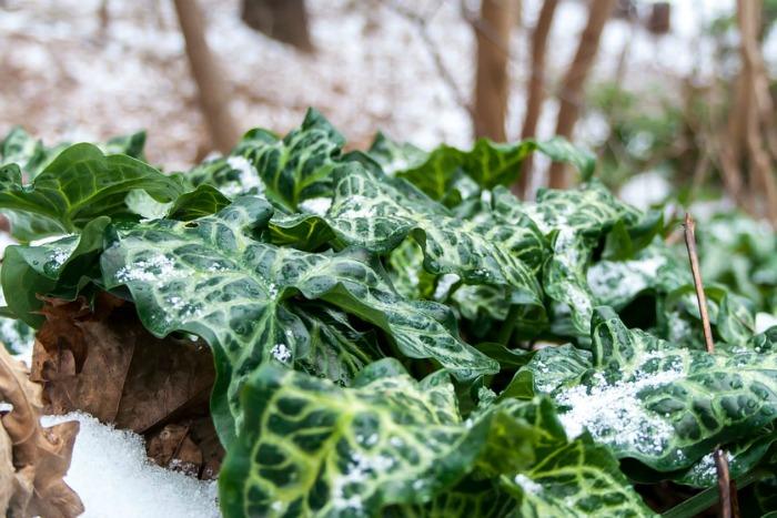 10 plantas trepadoras para climas fr os guia de jardin - Plantas para vallas ...