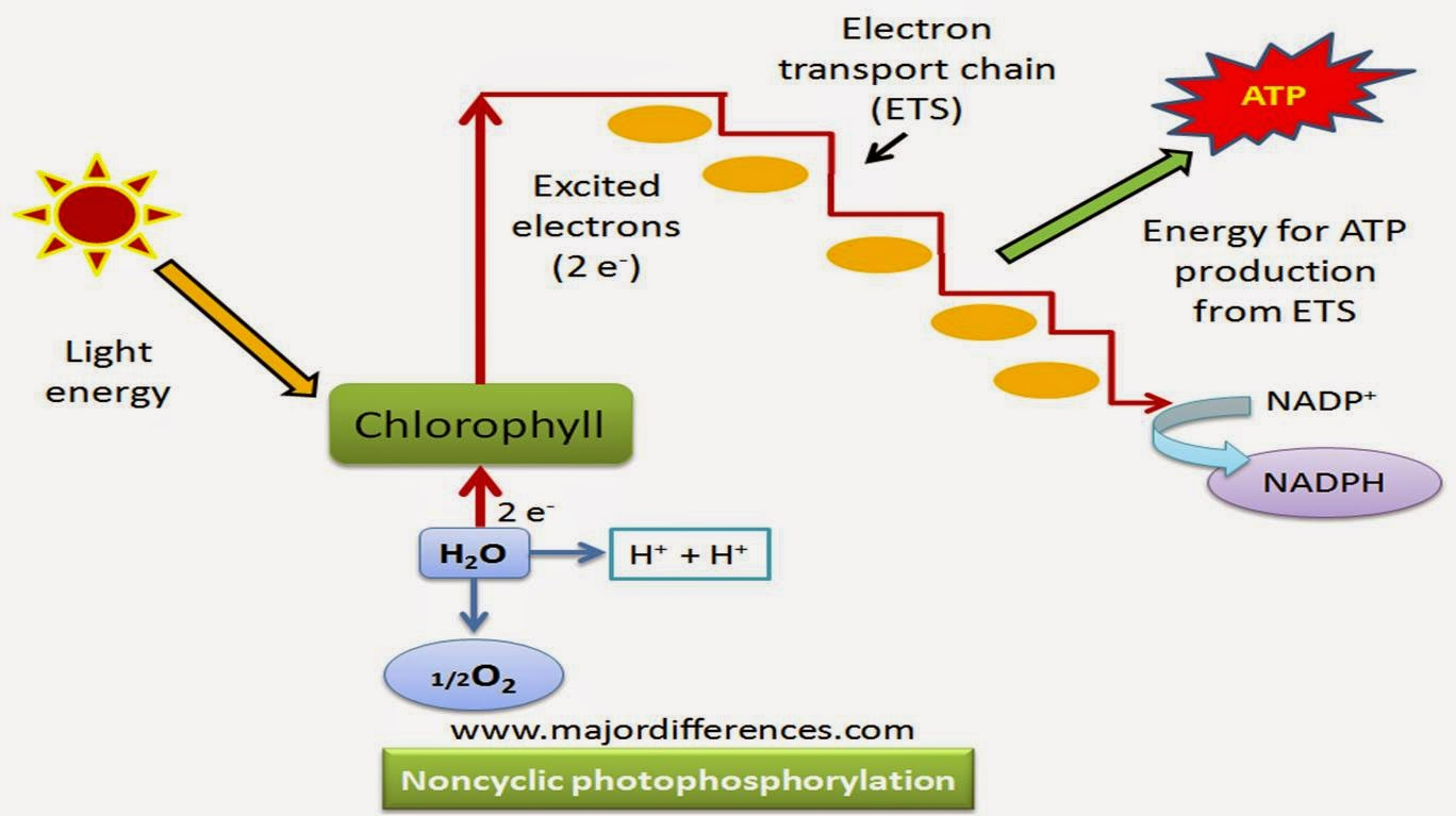 light reactions photosystem diagram sea animal skeleton cyclic electron transport photosynthesis great installation of difference between and non noncyclic in