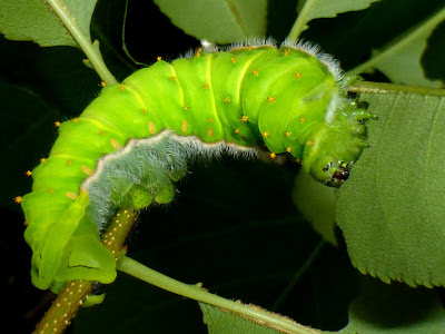 Rothschildia orizaba caterpillar