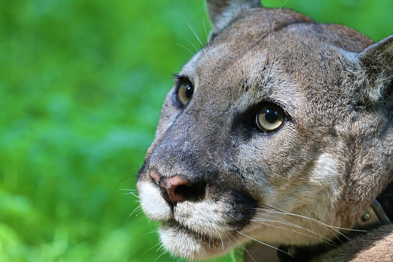 Long Vanished Eastern Puma Has Been Added To The Extinction List