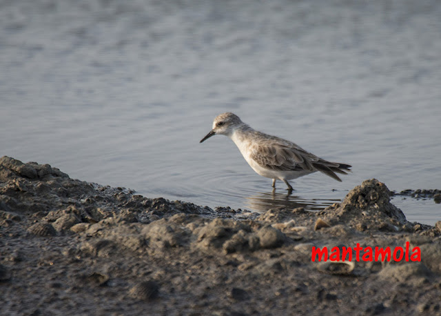 Red-Necked Stint (Calidris fruficollis)