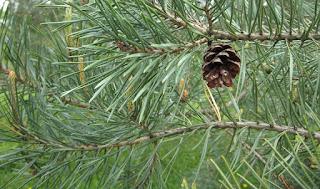 Manfaat Pinus Untuk Kesehatan