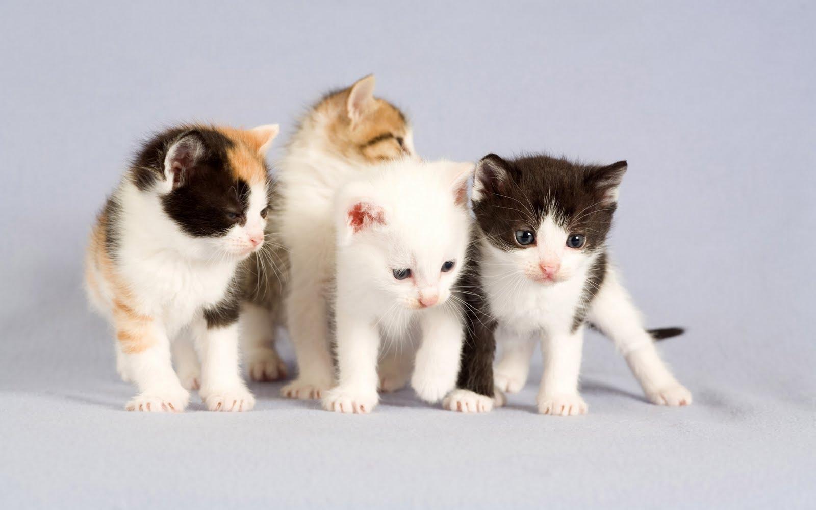 Gambar kucing persia lucu dan imut - Cute kittens hd wallpaper free download ...