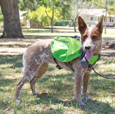 Whether it's carrying a couple of water bottles, or pulling a cart, dogs know when they are being useful!