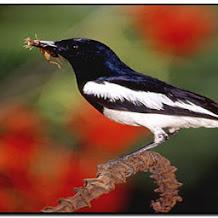 Tip Menjinakkan Burung Kacer Yang Masih Giras