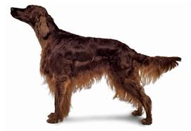 Anjing Ras Irish Setter