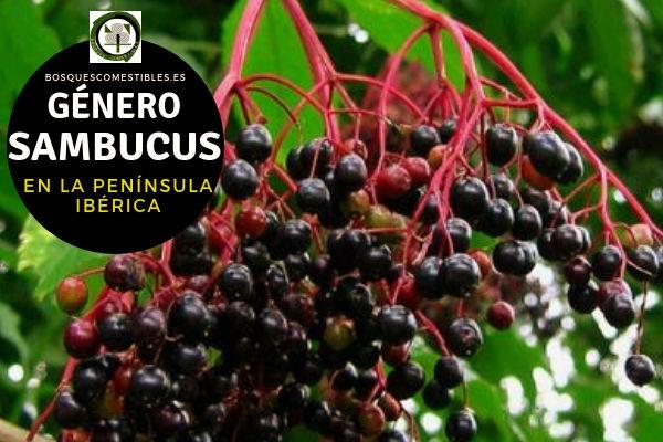 Lista de especies del Género Sambucus, Familia Caprifoliáceas en la Península Ibérica.