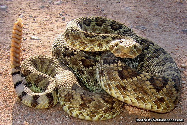 Mohave Rattles Snake