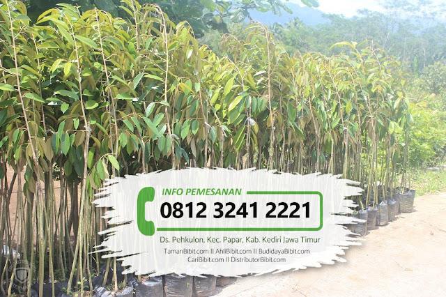 Jual Bibit Buah Durian Bawor