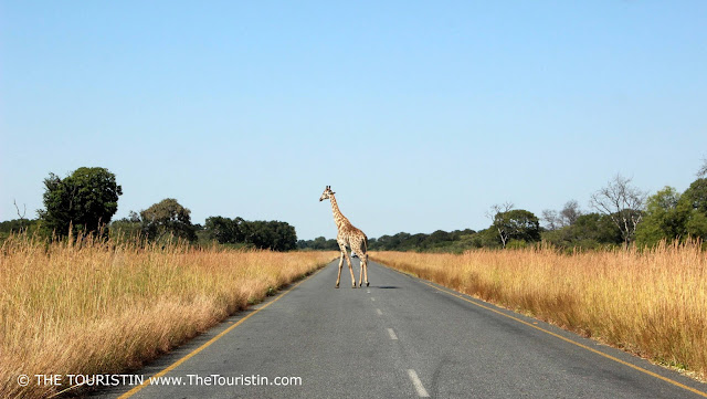 A giraffe in the middle of the highway between Kasane and Nat