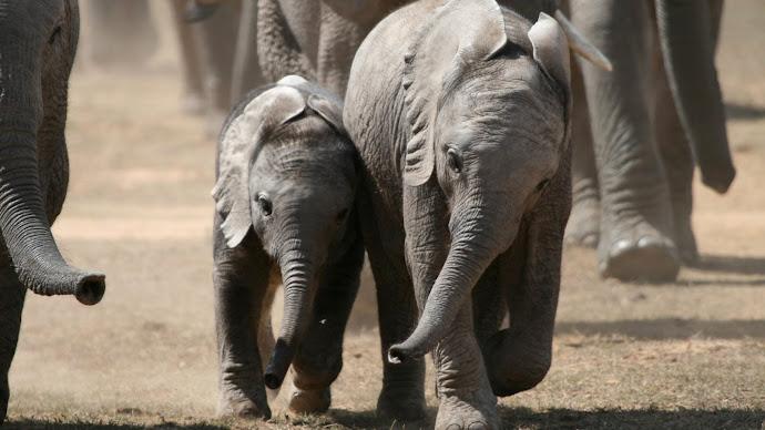 Wallpaper: Best Friends - Elephant Cubs