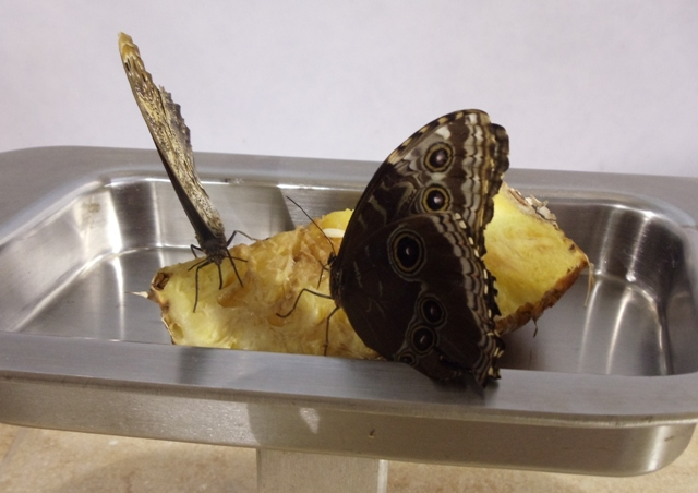 Butterflies eating pineapple