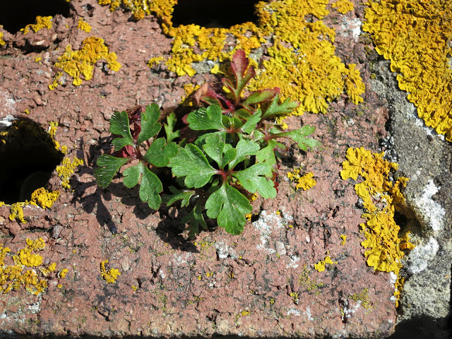 Little Green Plant growing through a hole in a brick wall - with lichen