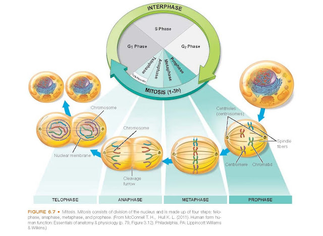 Mitosis. Mitosis consists of division of the nucleus and is made up of four steps: telophase, anaphase, metaphase, and prophase