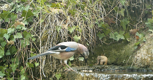 jay and great tit