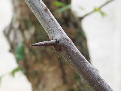 Espinas en las ramas del espino albar