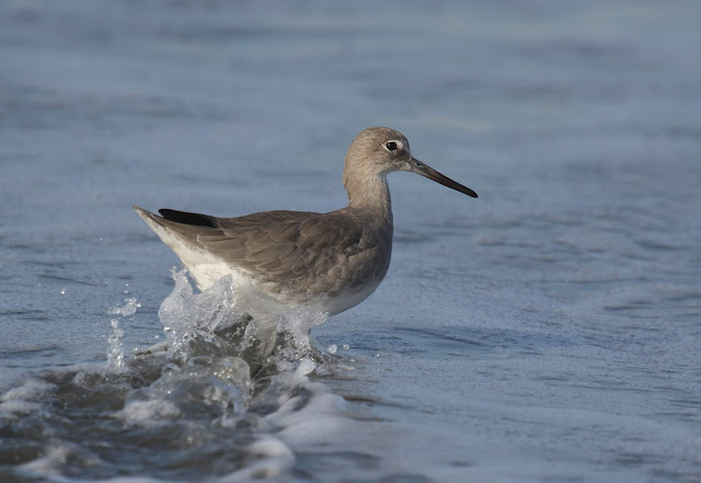 Willet at Imperial Beach, California