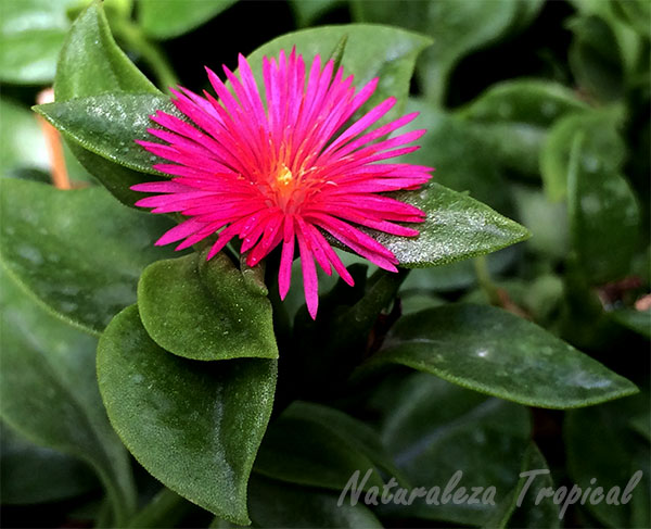 Flor de la planta Rocío, Aptenia cordifolia