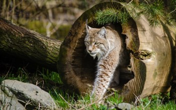 Wallpaper: Wild Cats - The Lynx