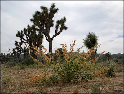 Joshua Tree National Park,Joshua trees,globe mallow,Mojave desert,flowers,wildflowers