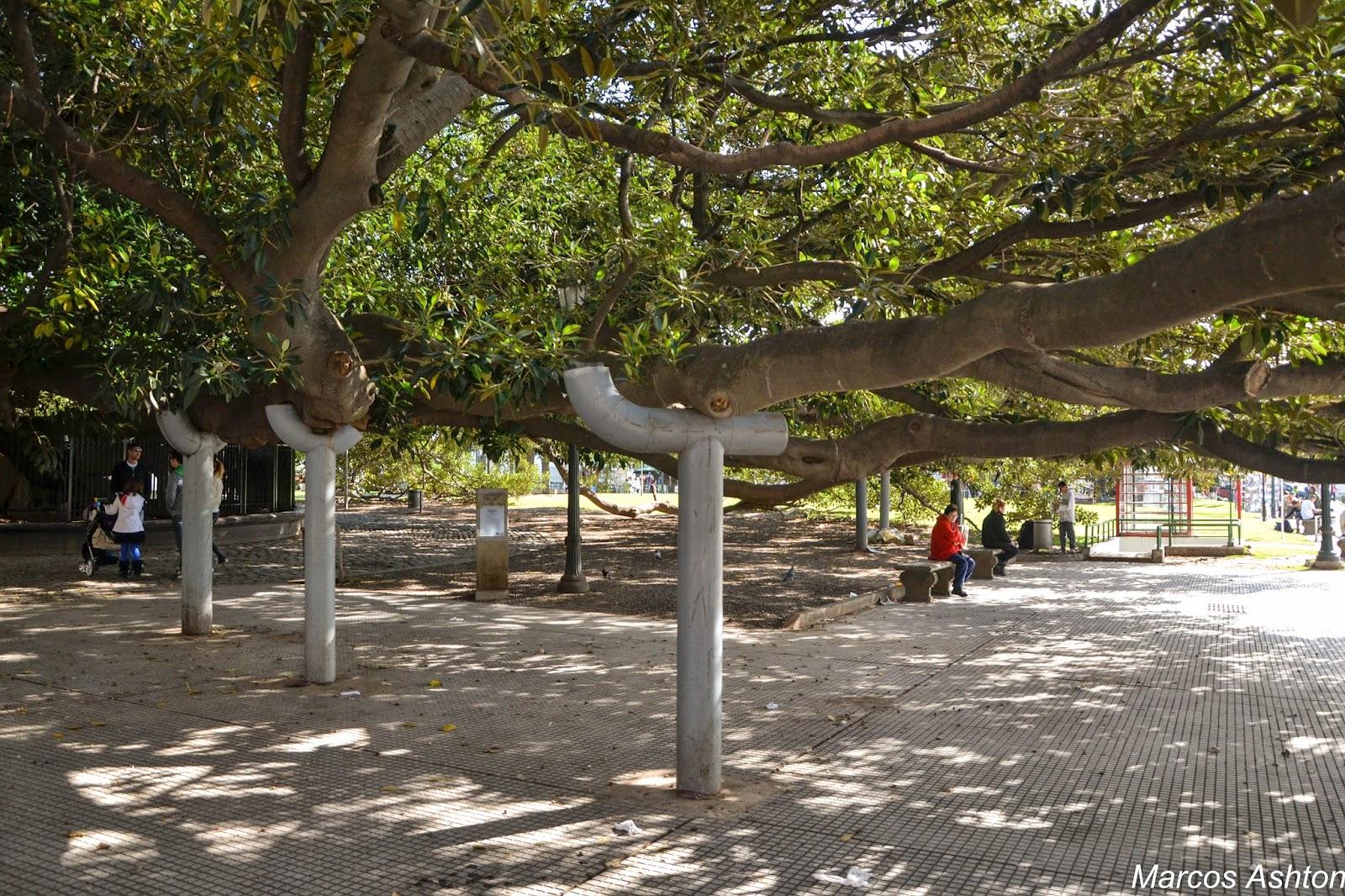 MisteriosaBsAs: Gomero De Recoleta / Rubber Tree In Recoleta
