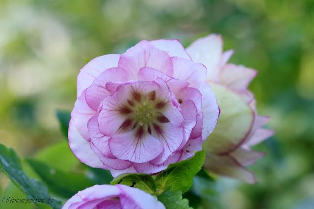 floraison fin d'hiver
