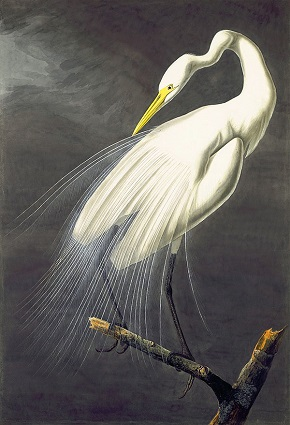what is a white heron called