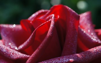 Wallpaper: Hot. Love. Macro. Flowers. Roses