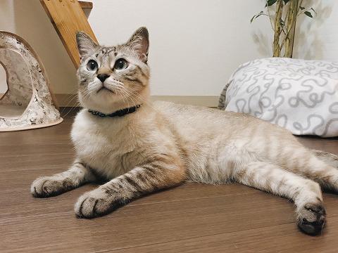 キョトンとした顔で寝そべってるシャムトラ猫