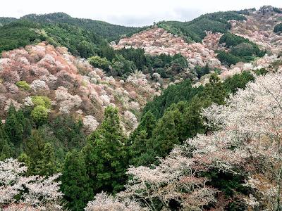 Yama-zakura (Prunus jamasakura) blossoms: Mt. Yoshino (Nara prefecture)