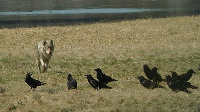 wolf and crow relationship test