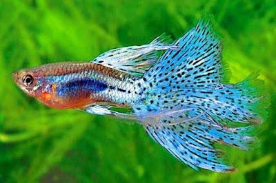 ikan guppy budidaya dalam aquarium