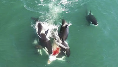 Cuplikan Langka Orcas Memburu Paus Minke Besar