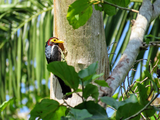 Yellow-billed barbet in Uganda's Bigodi Wetlands Sanctuary