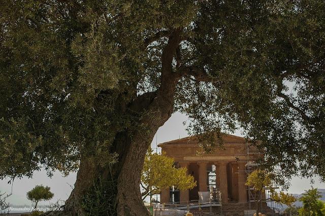 Ulivo secolare – Valle dei Templi di Agrigento