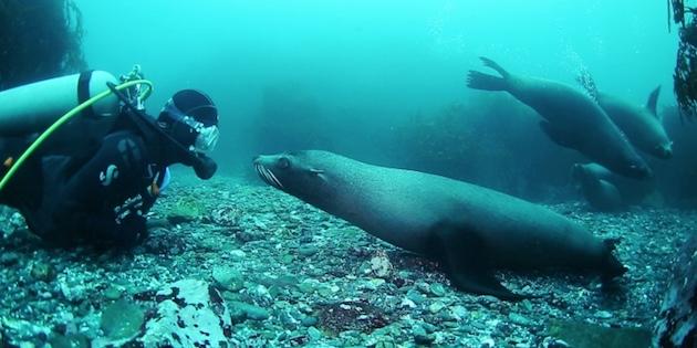 Buzo junto a lobo marino en Archipiélago de Humboldt