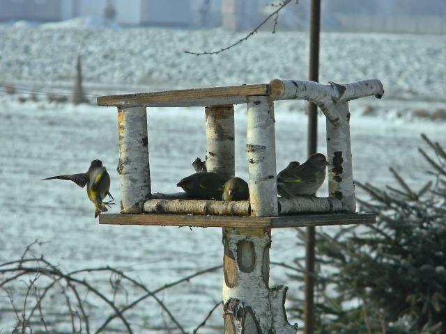 dzwońce, ptaki, zima, dokarmianie