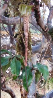 এই ফুলটার নাম স্নেক লিলি। পাসাং দেখালেন, একটা রডোডেনড্রন গাছের তলায় ফুটে ছিল। একেবারে ফণা তোলা সাপের মত দেখতে।