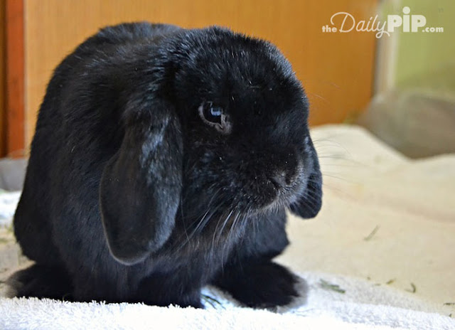 Rescuing and adopting a domestic rabbit