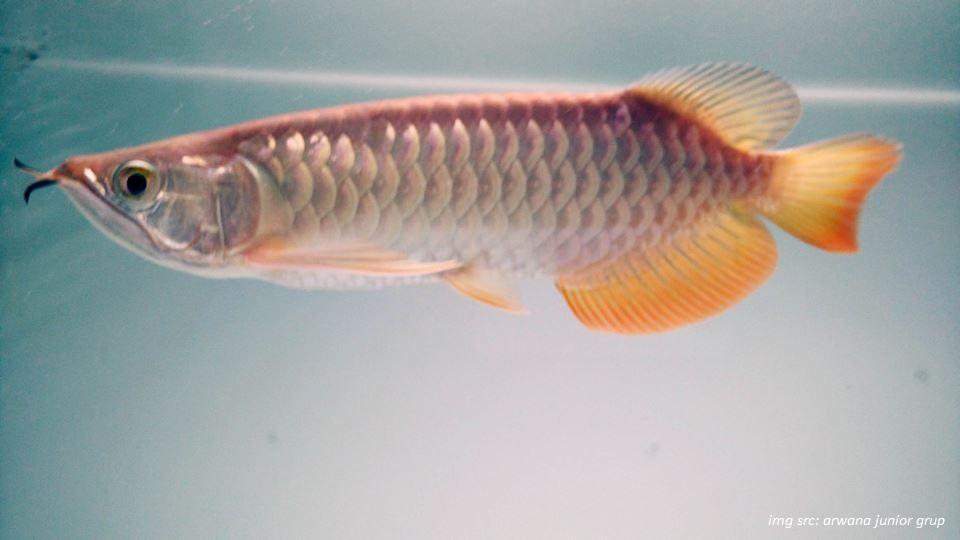 Cara Memilih Indukan Ikan Arwana Yang Dapat