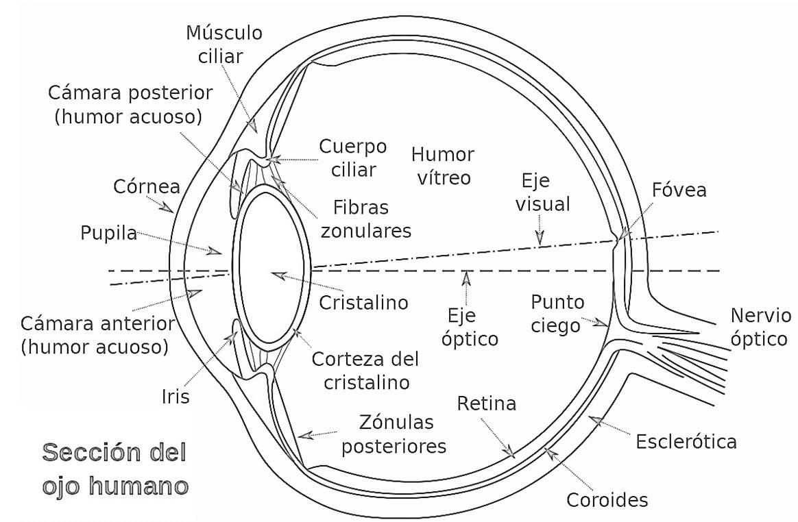 Magnífico Las Partes Del Ojo Regalo - Anatomía de Las Imágenesdel ...