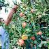 Recrutam-se colaboradores para Apanha da Fruta (pagamentos de 45€ por dia)