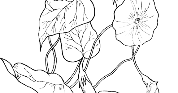 free morning glory coloring pages photo22